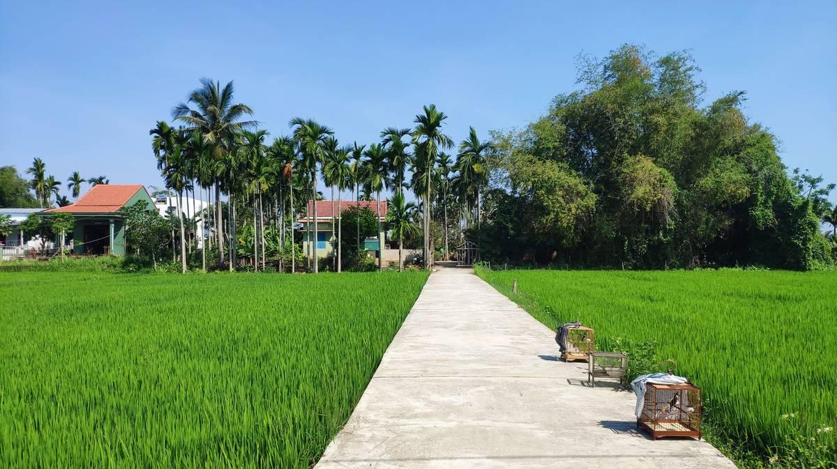campos de arroz hoi an