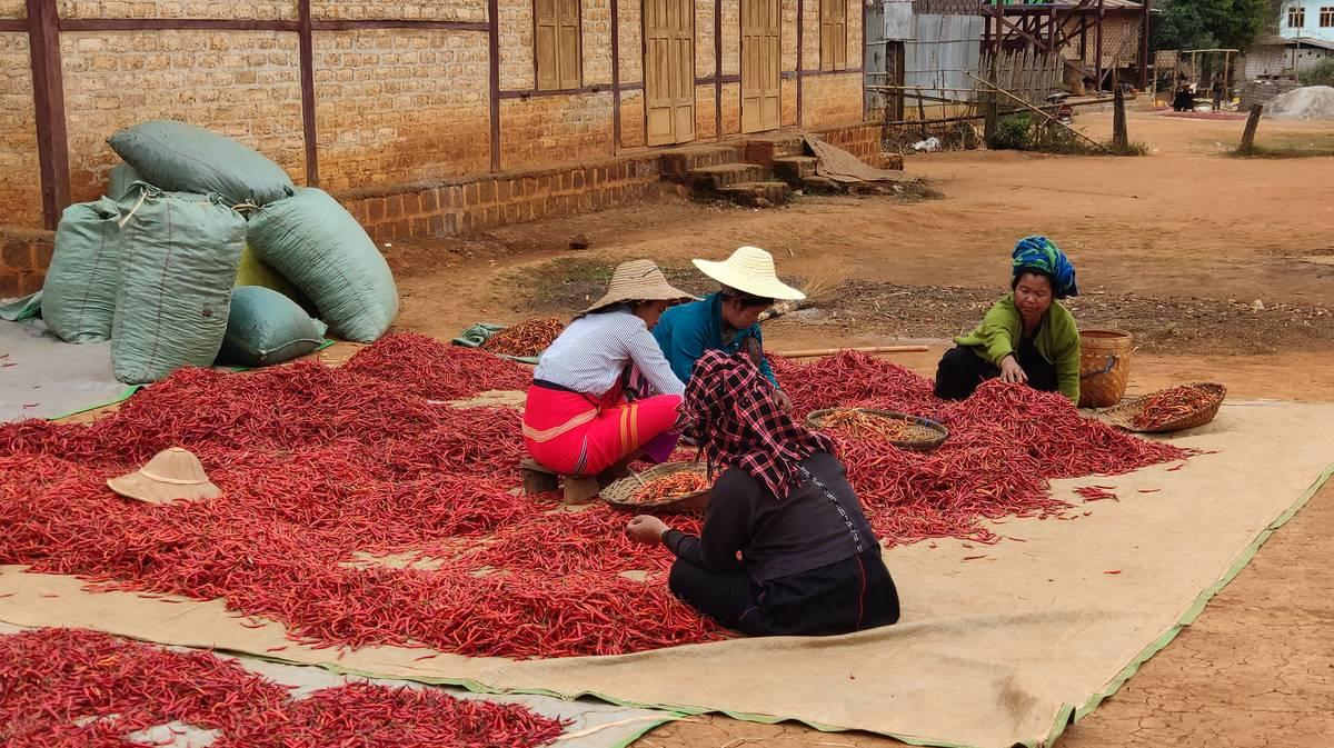 Mujeres separando el chile