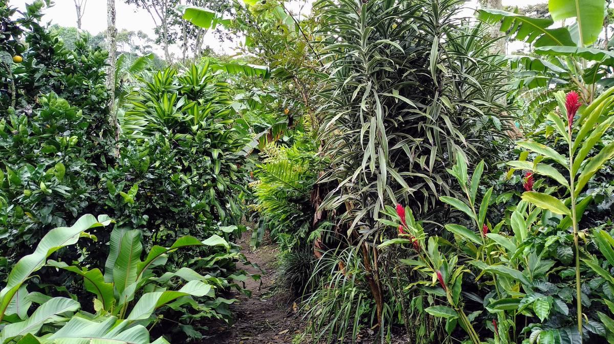 Plantación de café Finca El Ocaso