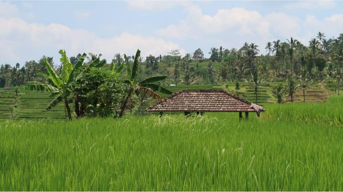 terrazas de arroz de jatiluwih 3