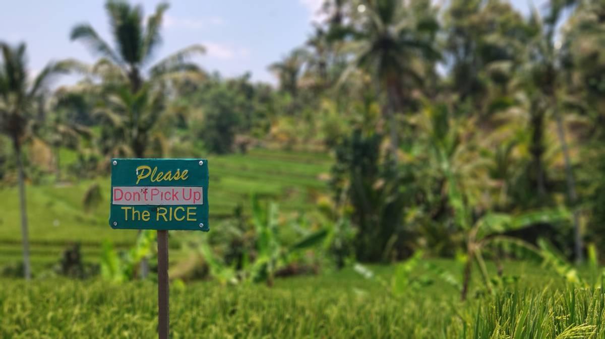 terrazas de arroz de jatiluwih 6