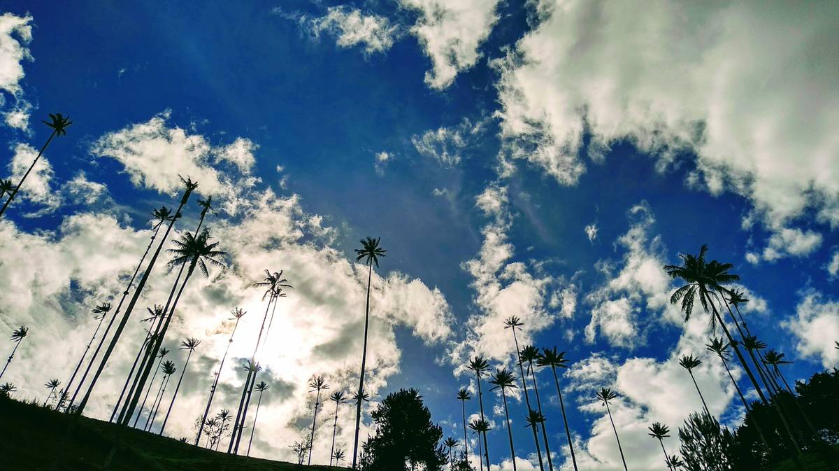 cocora valley wax palms
