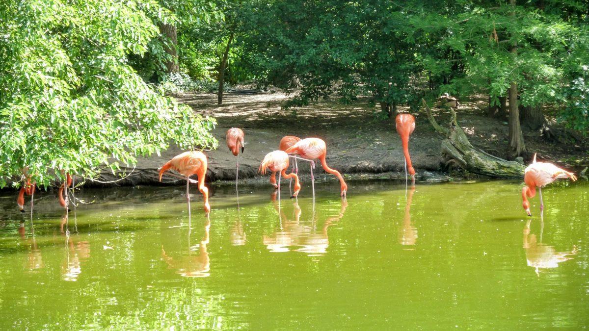 Flamencos en el Zoo de Saint Louis