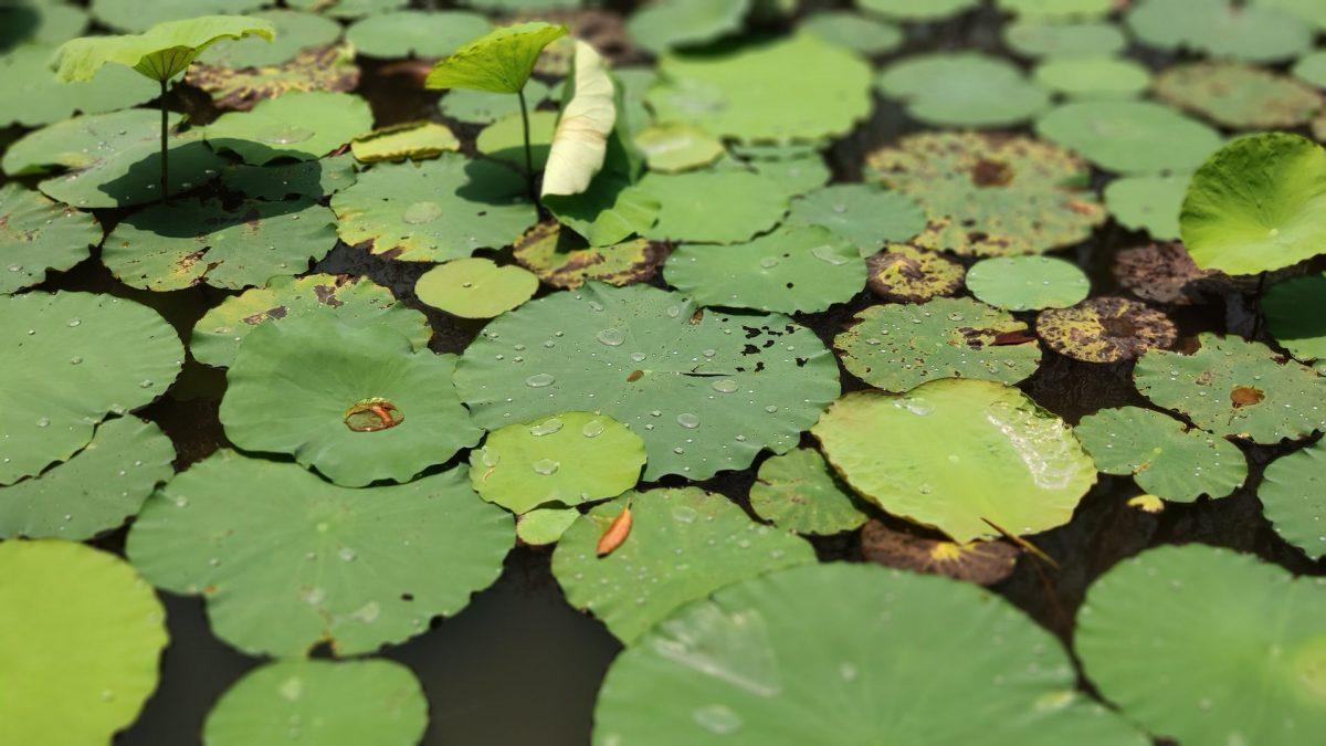 Estanque de flores de loto en el Templo de la Literatura