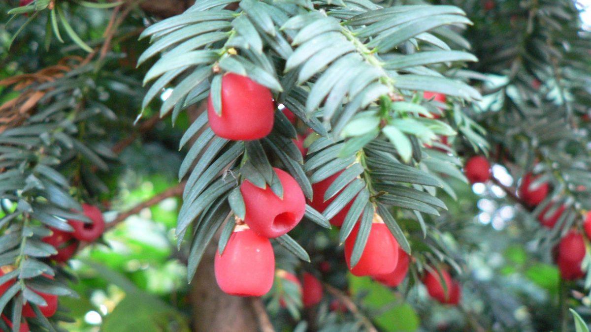 Hojas y frutos de Taxus baccata